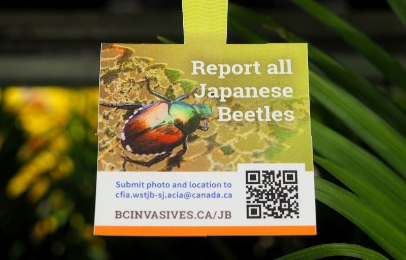 Japanese Beetle 2021 Spring Update