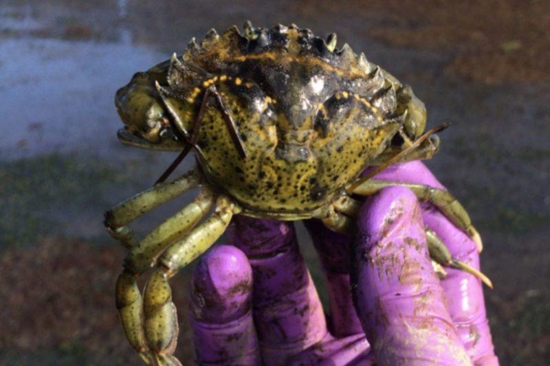 Report sightings of European green crab