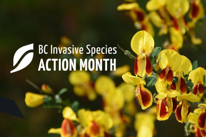 Control of Scotch Broom in BC's Forests