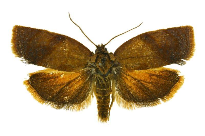 Invasive Moth Identified in BC's Lower Mainland