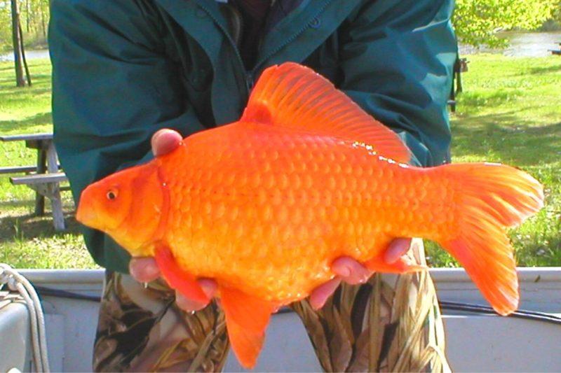 Invasive Goldfish Threaten Native Species