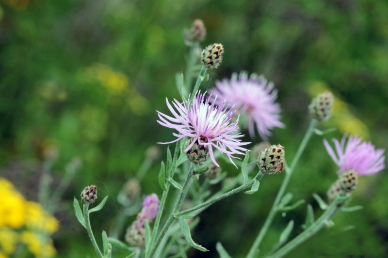 Webinar: Fall Herbicide Application for Invasive Plants